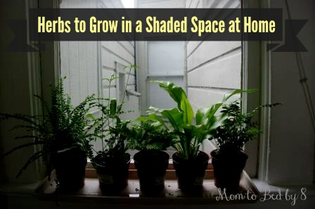 6 Great Herbs to Grow in a Shaded Space at Home Motherhood Defined