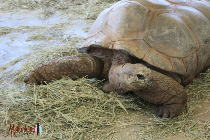 Reptile Gardens giant tortoises
